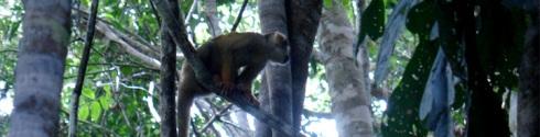 mono Uasa en la selva amazónica